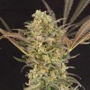 Cannape one of the delights of the most gourmet cannabis